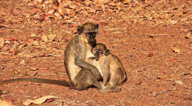 Nejen za hrochy do senegalského národního parku Niokolo Koba