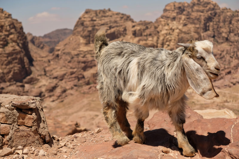 Koza na trailu Petra